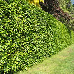 Haie palissade ou simple cl ture comment d limiter son for Cout haie jardin