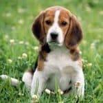 Les drôles d'histoires de beagle