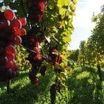 Les vins français : un secteur qui ne connaît pas la crise