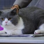 Comprendre et choisir la race de chat British Shorthair