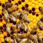 """L'organisation de la """"société"""" des abeilles"""