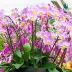 Pourquoi les orchidées ne sont pas difficiles à entretenir?