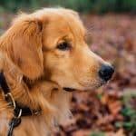 Collier de repérage et de dressage chien – conseils pour une utilisation efficace