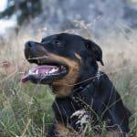 Aperçu sur les caractéristiques du Rottweiler