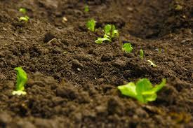 semis potager
