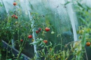 serre tomate